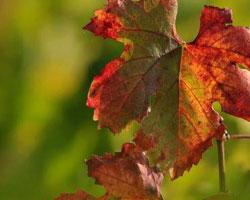 feuille_de_vigne